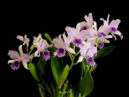 Cattleya unknown