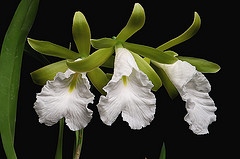 Click to see larger image of Encyclia mariae.